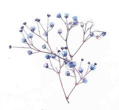 Pressed Baby's Breath Real Pressed Flowers by PreservedGardens