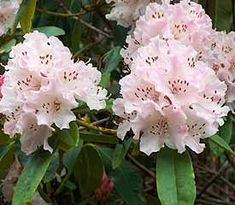 Rhododendron 'Rosa Mundi'
