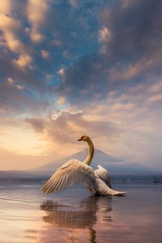 Morning Swan at Mt Fuji