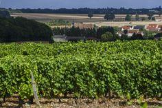 Vignoble des Coteaux du Giennois. #CoteauxduGiennois @Pierre_Mérat