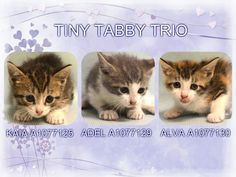 TINY TABBY TRIO - A1077125, A1077129, A1077130 - - Manhattan  Please Share:   *** TO BE DESTROYED 06/15/16 *** A CLOWDER OF CATS…..that's the term for a group or cluster of cats and our assorted group tonight is frightened and alone!! JUAQUIM and GRETA GARBO are the two adults in the group and they are just barely adults with one being a year old and the other being two years old. The kittens AMALIA & MALIA are 7 weeks old. MALIA has a mild rectal prolapse