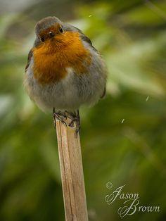 Winter Robin   Flickr - Photo Sharing!