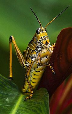 Grasshopper - an insect of the suborder Caelifera in the order Orthoptera Cool Insects, Types Of Insects, Bugs And Insects, Reptiles, Mammals, Mantis Religiosa, Cool Bugs, A Bug's Life, Beautiful Bugs