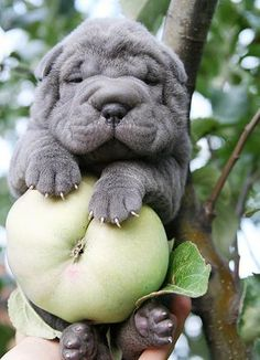 Want you eat some apple with shar-pei)