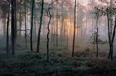 Finnish forest at dawn.