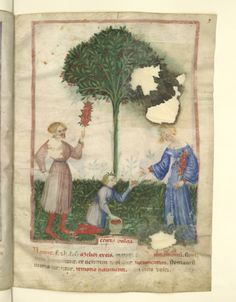 Nouvelle acquisition latine 1673, fol. 9, Récolte des cerises douces. Tacuinum sanitatis, Milano or Pavie (Italy), 1390-1400.
