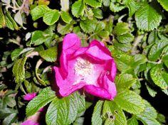 A flower in Furreby, Denmark.