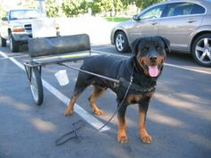 Rommel loved pulling a cart!   He could pull me!