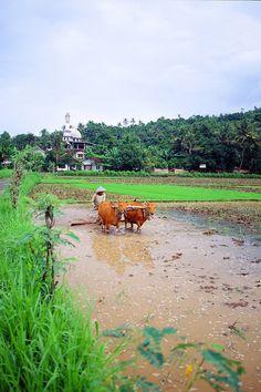 Rice Fields - Lombok, Indonesia