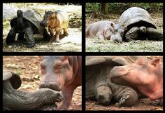 Baby Owen, a hippo, became an orphan when a tsunami struck the Kenyan coasts. Luckily rescued but sad and lonely he found a surrogate mother in Mzee, a century-old tortoise (albeit a male). They eat, swim and sleep together in Mombasa, Kenya at the Haller Park preserve.