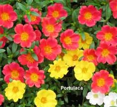 colorful portulaca flowering