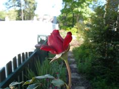 Red Rose growing near my gate. Patti Gipson Spring 2012