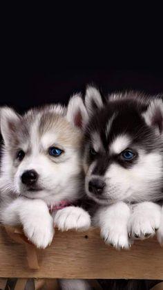 Cute Husky Puppies, Cute Animals Puppies, Super Cute Puppies, Cute Baby Dogs, Cute Little Puppies, Husky Puppy, Cute Little Animals, Cute Funny Animals, Siberian Husky Puppies