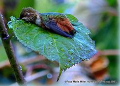Hummingbird taking a bath on a leaf.