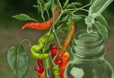 Healing, Herbs, Stuffed Peppers, Vegetables, Stuffed Pepper, Herb, Vegetable Recipes, Stuffed Sweet Peppers, Veggies
