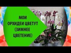 Мои орхидеи фаленопсис цветут - хороший ход за орхидеями - YouTube