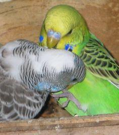 A budgies favourite toy is - another budgie! Budgie Toys, Diy Bird Toys, Parakeets, Parrot, Dog Cat, Birds, Pets, Parakeet, Pet Birds