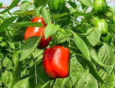 Предпосевная обработка семян перца