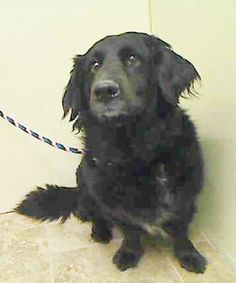 Manhattan Center BUDDY – A0873332 ***RETURNED 04/04/15 *** NEUTERED MALE, BLACK, DACHSHUND / BEARDED COLLIE, 6 yrs OWNER SUR – EVALUATE, HOLD RELEASED Reason ALLERGIES Intake condition EXAM REQ Intake Date 04/04/2015, http://nycdogs.urgentpodr.org/buddy-a0873332/