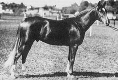 Пиолун, KOHEILAN I* - DZIEWANNA, жеребец, 1934 г.р.  Масть: рыжая.  Порода: арабская