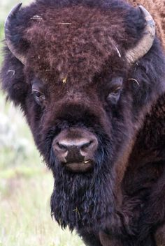 Bison   images of nature: American Bison