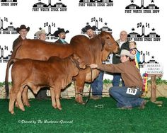 ❦ Fort Worth Stock Show Red Brahmans by Photographix. Fort Worth Stock Show, Show Cattle, Show Horses, Livestock, Cows, Rodeo, Country Style, Calves, Cow