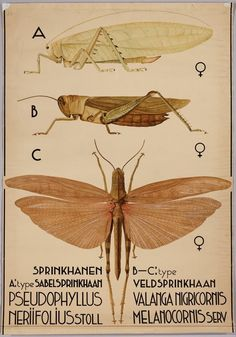 Pseudophyllus neriifolius^ (bush cricket) Valanga nigricornis (yellow or shorthorned grasshopper^) BibliOdyssey: Insect Wall Charts