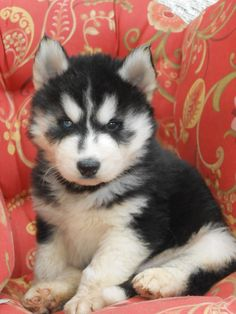 northern dog~ husky puppy  Strider 4 weeks, most adorable ever