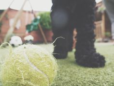 Cockerpoo dog playing ball Mummy & Harrison.: Life #004  | Fashion and Lifestyle blogger | Photography
