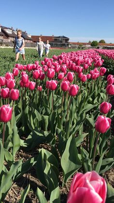 Spring in Holland is the best time! Tulip fields everywhere. Exclusive visits in small groups are available to book for coming tulip season. Tulip Season, Visit Holland, Tulip Bulbs, Tulip Fields, Beach Wallpaper, Spring Has Sprung, Flower Farm, Amazing Nature, Small Groups