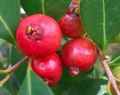 Strawberry Guava (Psidium cattleianum) Plants shipped in Pot Strawberry Guava, Guava Fruit, Red Fruit, Exotic Fruit, Guava Plant, Guava Tree, Smoothie Prep, Smoothie Recipes, Hawaii