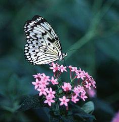 siyah beyaz kelebek