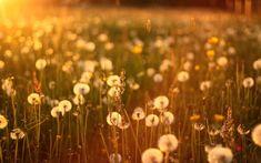 dandelion wallpaper summer - HD Desktop Wallpapers | 4k HD