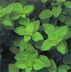 Orégano: una planta aromática con aplicaciones medicinales - Blog Jardineria