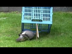 Pigeon trap in action HD - YouTube