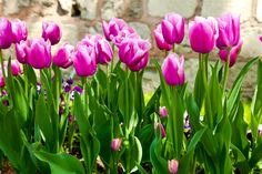 #цветы, #Листья, #Тюльпаны, #фиолетовый, #весна, #САД, #стебли