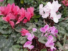 ΚΥΚΛΑΜΙΝΟ FRONTIDA Flowers, Plants, Gardening, Tips, Lawn And Garden, Plant, Royal Icing Flowers, Flower, Florals