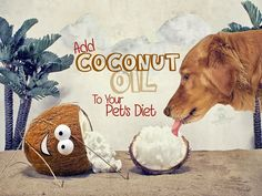 Pet Health Tip of the Month - Add Coconut Oil! 35 Awesome Uses for Coconut Oil: 1. Winter moisturizer for paws, nose and ears 2. Can protect the liver from toxic antibiotic drugs 3. Reduces Hairballs 4. Reduces Cancer risks 5. Rub into the skin as a basic lotion 6. To support healthy thyroid function 7. To help increase sun tolerance and avoid burning 8. Topically to kill yeast or yeast infections in pets