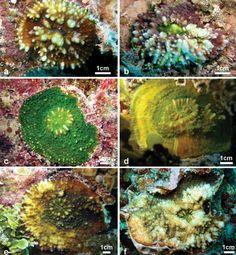 Nieuwe koraalsoort ontdekt nabij de Gambier-eilanden - Scientias.nl