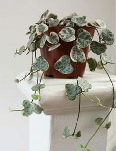 String of hearts/ hanging plants