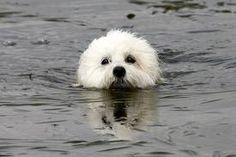 Coton de Tulear swimming!