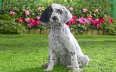 English Setter Puppies for Sale | english, setter, puppy Desktop Wallpapers and Backgrounds