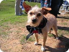 Little Rock, AR - Poodle (Toy or Tea Cup)/Chihuahua Mix. Meet Katie a Dog for Adoption.