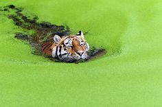 "A tiger swims through a bright green carpet of freshwater weed. Christian Keller, from Copenhagen, Denmark, took the photos at the city's zoo. He said: ""It's a funny shot because the tiger seemed to really enjoy the swim but didn't want to get his head wet."""