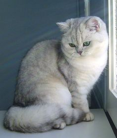 BRITISH SHORTHAIR -  Silver Shaded aux yeux verts.