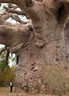 "Tree of Life! Baobab: Also known as the ""tree of life"". Baobab trees are found in Africa and India, they can live for several thousand years! Baobab Tree, Unique Trees, Old Trees, Big Tree, Giant Tree, Tree Tree, Nature Tree, Tree Forest, Jolie Photo"