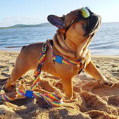 Nico French bulldog on beach glasses #Buldog