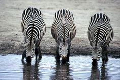 Free photo: Zebras, Drinking, Watering Hole - Free Image on Pixabay - 606867