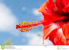 Stamens And Pistil Of A Hibiscus Royalty Free Stock Images - Image ...
