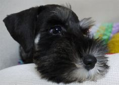 Mini Schnauzer puppy is just to cute